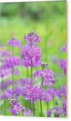 Wood Print featuring the photograph Candelabra Primula by Tim Gainey