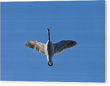 Wood Print featuring the photograph Candian Goose In Flight 1648 by Michael Peychich