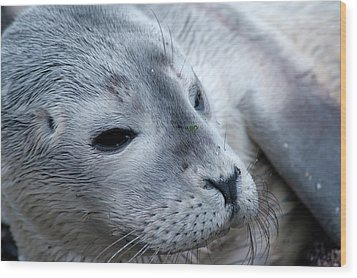 Wood Print featuring the photograph Cape Ann Seal by Mike Martin