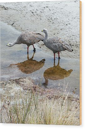 Cape Baron Geese On Maria Island 2 Wood Print by Lexa Harpell