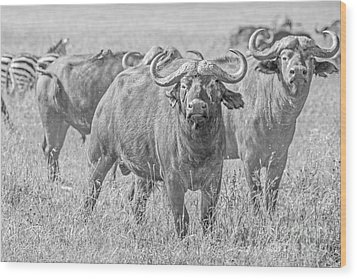 Cape Buffalos In Serengeti Wood Print
