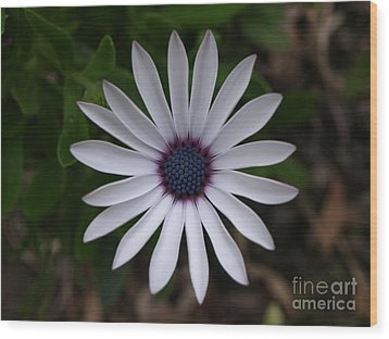 Cape Daisy Wood Print