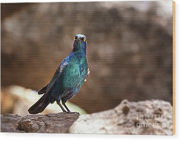 Cape Glossy Starling Wood Print