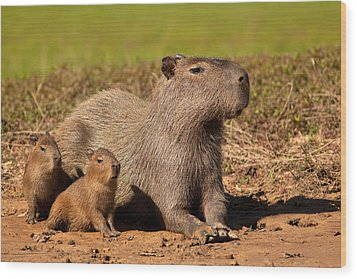 Capybara Family Enjoying Sunset Wood Print