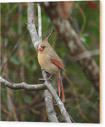 Wood Print featuring the photograph Cardinal by Cathy Harper