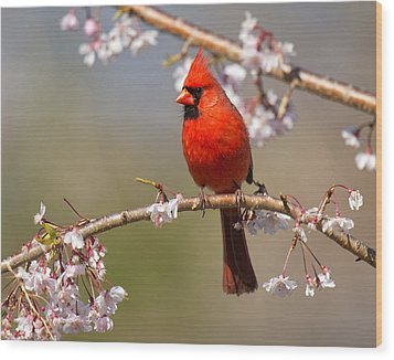 Cardinal In Cherry Wood Print by Angel Cher