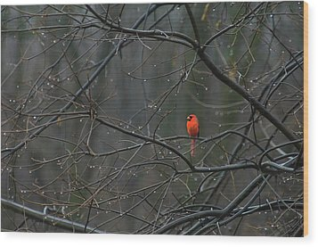 Cardinal In End Of Winter Rain Wood Print by James Oppenheim