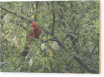 Cardinal In Mesquite Wood Print by Laura Pratt