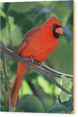 Cardinal Wood Print by Juergen Roth