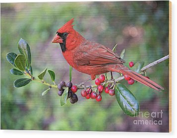 Cardinal On Holly Branch Wood Print by Bonnie Barry
