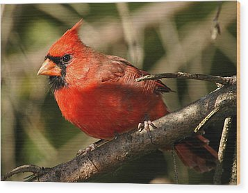 Cardinal Up Close Wood Print
