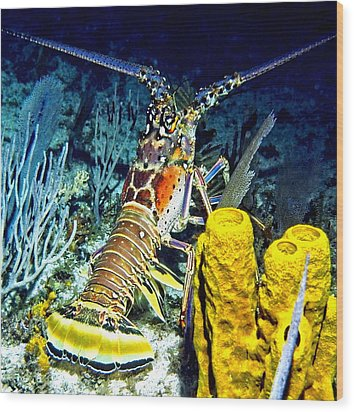 Caribbean Reef Lobster Wood Print by Amy McDaniel