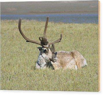 Caribou Rest Wood Print by Anthony Jones