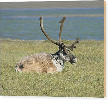 Caribou Resting Wood Print by Anthony Jones