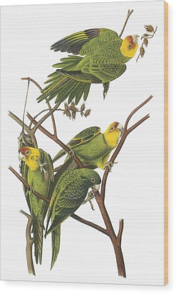 Carolina Parakeet Wood Print by John James Audubon