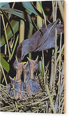 Catbird Feed Wood Print by Alan Lenk