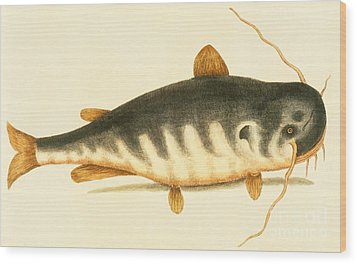 Catfish Wood Print by Mark Catesby