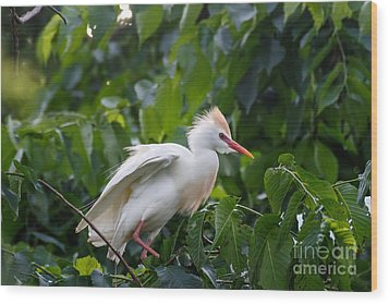 Cattle Egret At Rest Wood Print