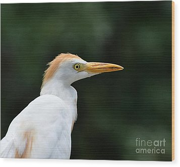 Cattle Egret Close-up Wood Print by Al Powell Photography USA