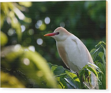 Cattle Egret In Oklahoma Wood Print