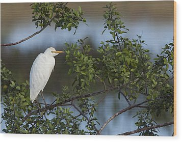Cattle Egret In The Morning Light Wood Print