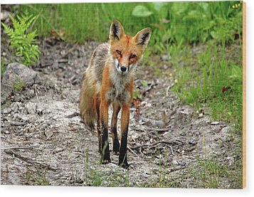 Cautious But Curious Red Fox Portrait Wood Print by Debbie Oppermann
