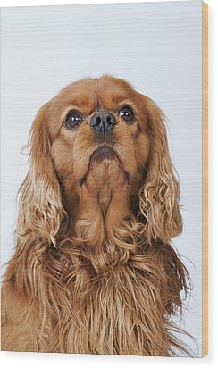 Cavalier King Charles Spaniel Looking Up, Studio Shot Wood Print by Martin Harvey