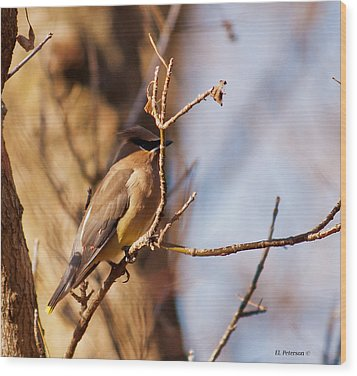 Cedar Waxwing In Autumn Wood Print by Edward Peterson