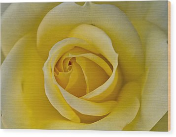 Centered Beautiful Yellow Rose Wood Print by Dina Calvarese