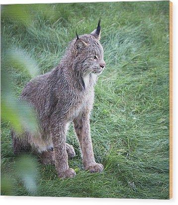 Champion Mama Lynx Wood Print
