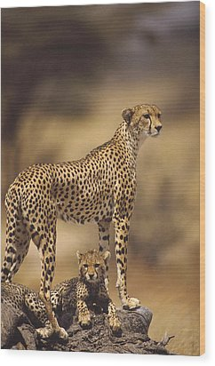 Cheetah Acinonyx Jubatus Mother With Wood Print by Gerry Ellis
