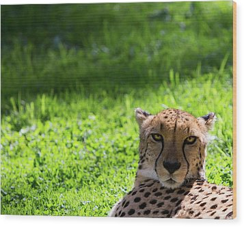 Wood Print featuring the photograph Cheetah Face by Rebecca Cozart