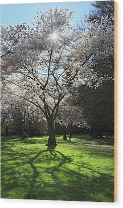 Cherry Blossom Sunshine Wood Print by Pierre Leclerc Photography