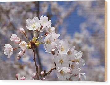 Wood Print featuring the photograph Cherry Blossoms - B by Anthony Rego