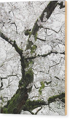 Cherry Blossoms 119 Wood Print