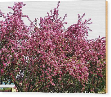 Cherry Blossoms 2 Wood Print by Will Borden
