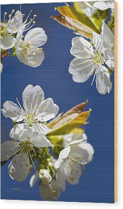 Cherry Blossoms Wood Print by Christina Rollo