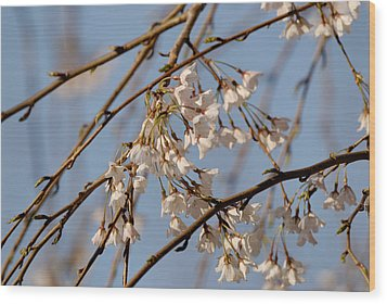 Cherry Blossoms Wood Print by Julie Niemela