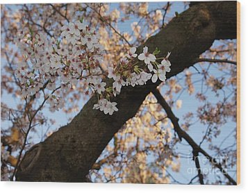 Cherry Blossoms Wood Print by Megan Cohen