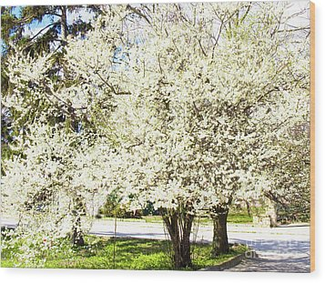 Cherry Trees In Blossom Wood Print