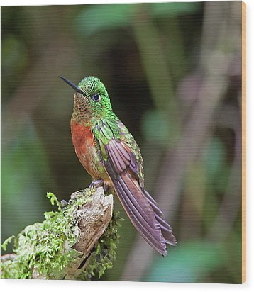 Chestnut-breasted Coronet Wood Print by Photography by Jean-Luc Baron