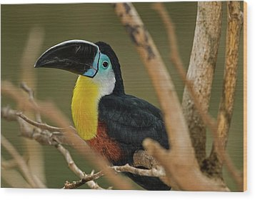 Wood Print featuring the photograph Chestnut Mandibled Toucan by JT Lewis