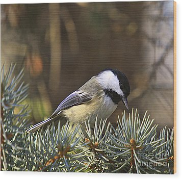 Chickadee-10 Wood Print by Robert Pearson