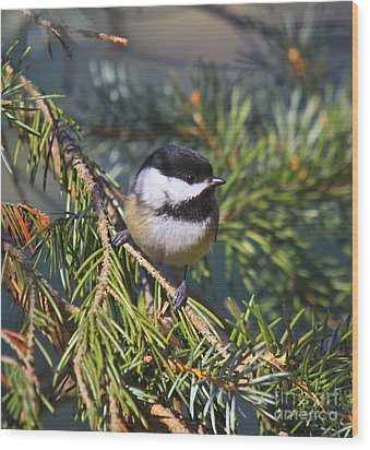Chickadee-12 Wood Print by Robert Pearson