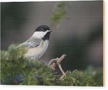 Wood Print featuring the photograph Chickadee In Balsam Tree by Susan Capuano