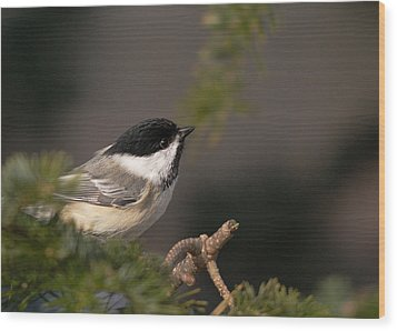 Wood Print featuring the photograph Chickadee In The Shadows by Susan Capuano