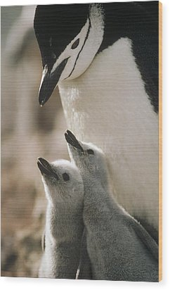 Chinstrap Penguin Pygoscelis Antarctica Wood Print by Tui De Roy
