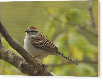Chipping Sparrow In Sugar Maple Wood Print by Gerald Hiam