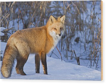 Christmas Fox Wood Print by Mircea Costina Photography