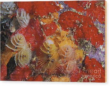 Christmas Tree Worms, Bonaire Wood Print by Terry Moore